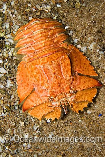 Stock Photo of Slipper Lobster Ibacus alticrenatus