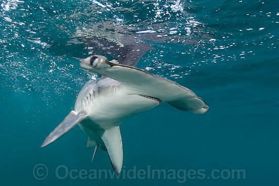 Photo of Smooth Hammerhead Shark Sphyrna zygaena | 38M2647-08